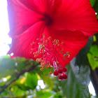 Chinese hibiscus / Rose of China