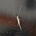 Slender Crab Spider