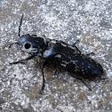 Eyed Click Beetle