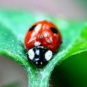 2-Spot Ladybird Beetle