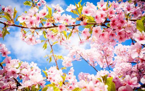 3D Cherry Blossoms
