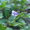 Brittle False Pimpernel