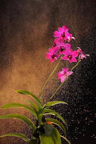 avara kadabra by Ardhy Muhammad - Flowers Flower Arangements ( macro, orchid, nature, flower )