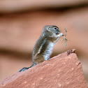 White Tailed Antelope Squirrell