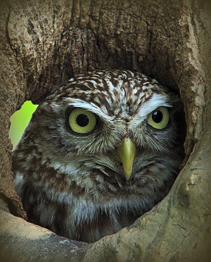 Little Owl Peaking by Alex Graeme - Animals Birds ( little owl, owl )