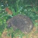 East european hedgehog
