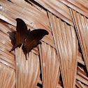 Dark Daggerwing Butterfly
