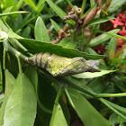 Common mormon larva