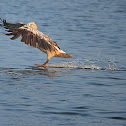 Grey or Spot-billed pelican