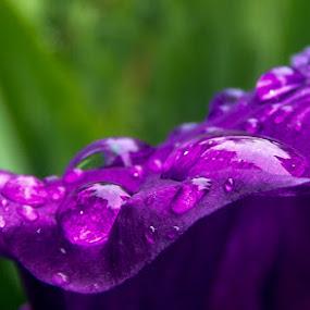 by Monica Dragomir - Flowers Single Flower (  )