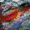 Electric Flame Scallop