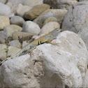 keeled earless lizard
