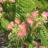 Mimosa/ Silk Tree