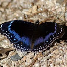 Blue-banded Eggfly