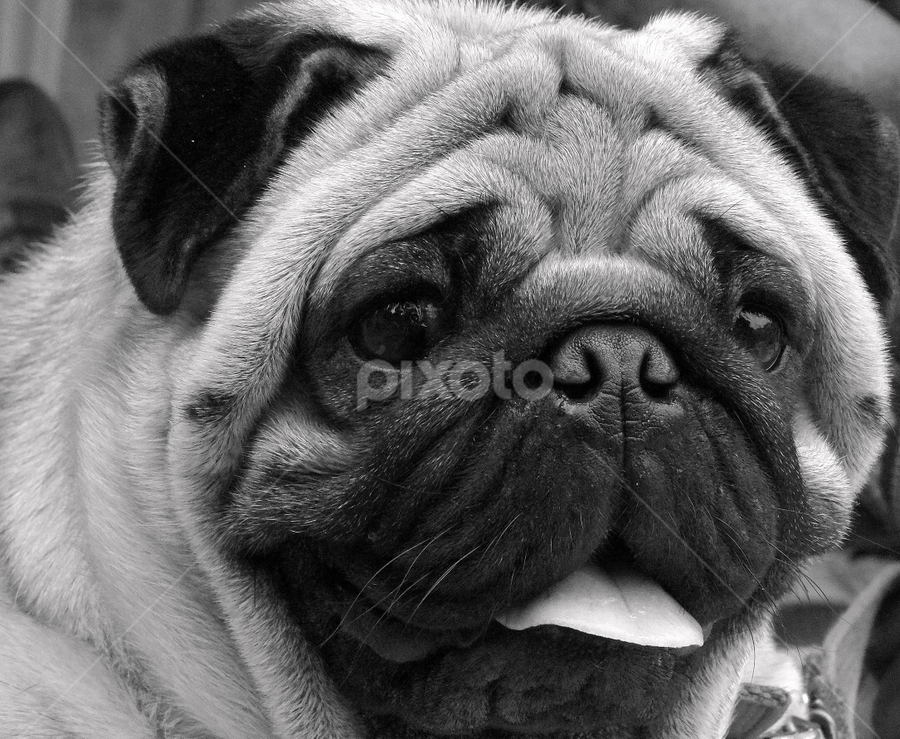 by Gautam Tarafder - Animals - Dogs Portraits ( black and white, animal,  )