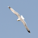 Yellow-legged gull ( Ασημόγλαρος της Μεσογείου )