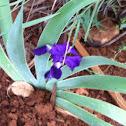 Ground Iris
