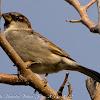 House Sparrow, Gorrión Común