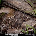 Arizona Ridge Nosed Rattlesnake