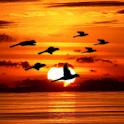 Bird Flock Live Wallpaper icon