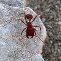 California Harvester Ant