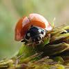 Spotless Ladybird