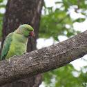 Rose Ringed Parrot