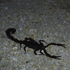 Florida Bark Scorpion