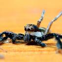 Jumping spider Brettus Sp