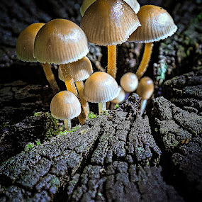 Close together. by Miguel Silva - Nature Up Close Mushrooms & Fungi ( born, miguel silva, nature up close, forest, viseu, portugal, fontelo, cleft, tree trunk, mushrooms, , mushroom, nature, natural )