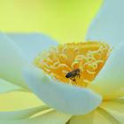 Honey bee with Yellow Lotus