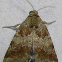 Sordid Flower Moth