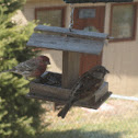 House Sparrow and Common House Finch