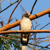 Black-faced Cotinga