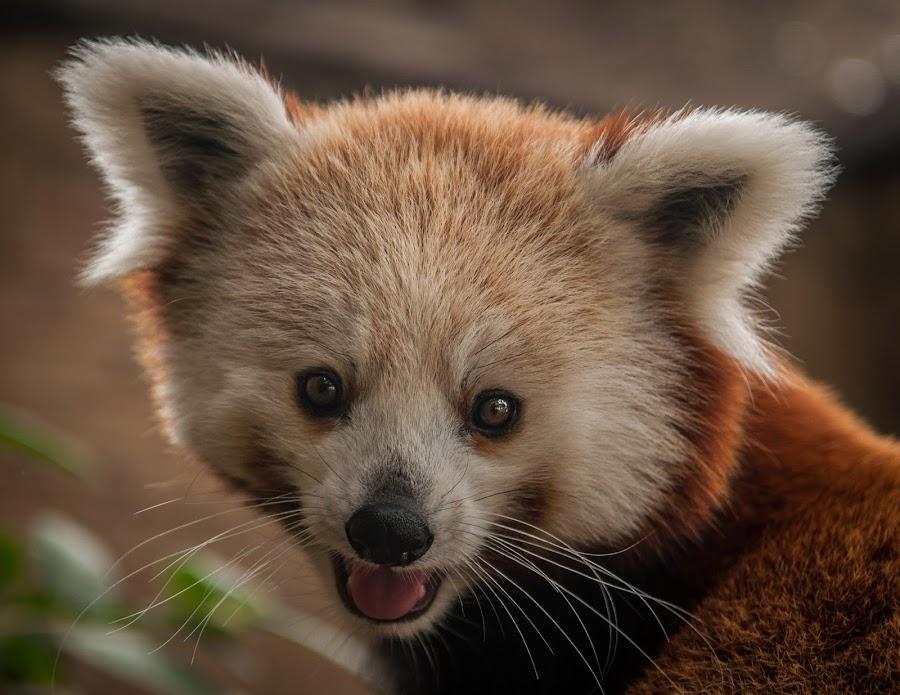 Nutmeg, the Red Panda by Joshua Arlington - Animals Other Mammals ( animals, redpanda, zoo, cute, portrait )