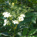 Holunder or Elderberry