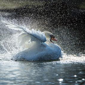 Bath time by Peter Kostov - Animals Birds ( bird, london, nature, wildlife, swan )