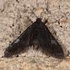 Black Duckweed Moth