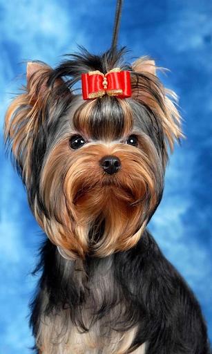 Yorkshire Terrier br