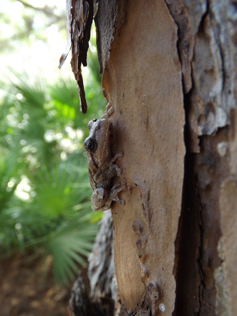 Pinewoods Tree Frog