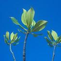 Mangroves or Bakau