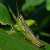 Chinese rice grasshopper