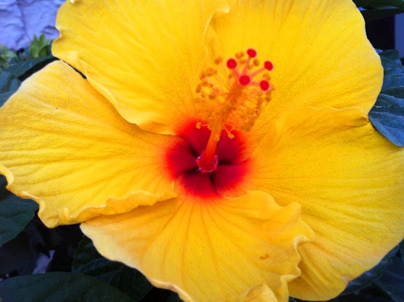 hibiscus yellow or hawaii s state flower project noah