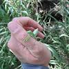 Juvenile Giant Asian Mantis