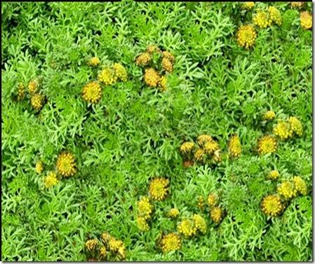 Artemisia viridis 'Tiny Green'