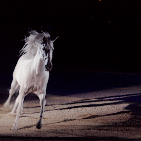 by Viks Pix - Animals Horses ( trotting, horse, beautiful, times, white, beauty, trot, majestic, arena )