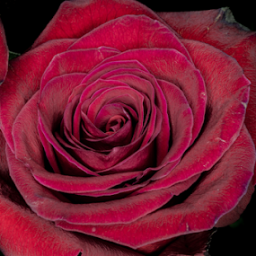 A Rose by any other name by RomanDA Photography - Flowers Single Flower ( rose, macro, red, flower )