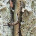 Mabuya nigropunctata