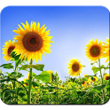 Sunflower HD Photography icon