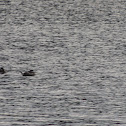 Ruddy Ducks